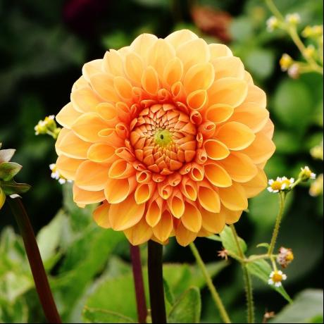 flores del ramo de novia dalias