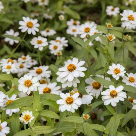 flores del ramo de novia margaritas